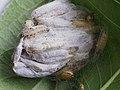 Yponomeuta evonymella (larva) - Bird-cherry ermine (caterpillar) - Горностаевая моль черёмуховая (гусеница) (42781212041).jpg