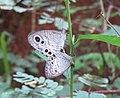 Ypthima huebneri – Common Four-ring 01.jpg