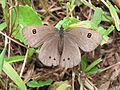 Ypthima ypthimoides Moore, 1881 – Palni Four-ring at Mannavan Shola, Anamudi Shola National Park, Kerala (33).jpg