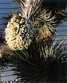 Yucca Plant at the Nevada Test Site 4.jpg