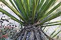 Yucca schidigera at Regional Parks Botanical Garden closeup.jpg