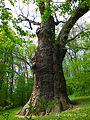 Zalizniak oak tree 06.jpg