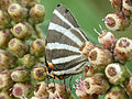 Zebra-striped Hairstreak (16470824400).jpg