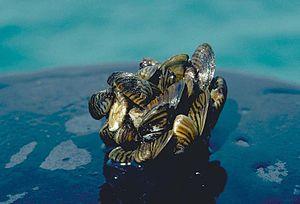 Zebra mussel GLERL 2