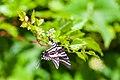 Zebra swallowtail (19691274842).jpg