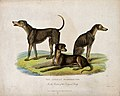 Zoological Society of London; three African bloodhounds. Col Wellcome V0023101.jpg