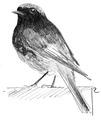 Zwarte roodstaart Phoenicurus ochruros Jos Zwarts 3.tif