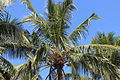 """Coconut tree of Salem"".JPG"