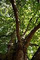 'Aesculus hippocastanum' horse-chestnut conker tree at Feeringbury Manor, Feering Essex England 4.jpg