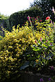'Euonymus' - Emerald 'n' Gold, Golden Spindle, at Nuthurst, West Sussex, England.JPG