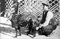 'Goat-herd milking, Malta', David Bruce. Wellcome L0020991.jpg