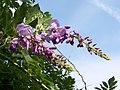 (MAD ) W. sinensis-1.jpg