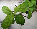 (Ocimum tenuiflorum) Tulasi foliage 01.jpg
