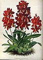 (The Orchid Album Plate 004) Epidendrum vitellinum majus.jpg