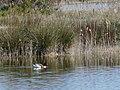 Ànec blanc a l'estany del braç de la Vidala P1100402.jpg
