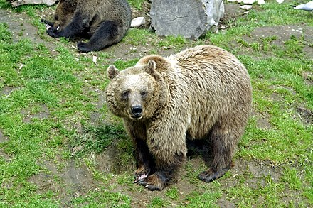 The brown bear (Ursus arctos) is Finland's national animal. Ahtarin karhut 7.jpg