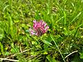 Ďatelina lúčna (Trifolium pratense).JPG
