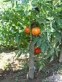 Τομάτα (Solanum lycopersicum) 02.JPG