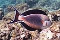 Аравийская рыба-хирург. Acanthurus sohal..DSCF5980ОВ.jpg