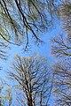 Весняне небо лісу.jpg