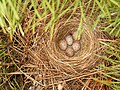 Гнездо на полянке.jpg