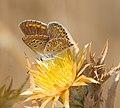 Голубянка аргус - Brown Argus - Aricia agestis - Кафява синевка - Geißklee-Bläuling (30945248036).jpg