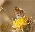 Голубянка аргус - Brown Argus - Aricia agestis - Кафява синевка - Geißklee-Bläuling (30980699995).jpg