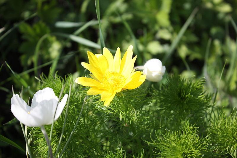 File:Горицвіт весняний.JPG