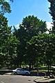 Гінкго Сікорського DSC 0031.jpg