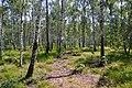 Ділянка молодого березового лісу.jpg
