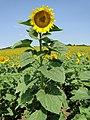 """Жълто и синьо - Любопитният гигант - висок повече от два метра """"Гулливер в стране лилипутов"""" by Yuri O. - panoramio.jpg"""