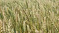 Колосья Пшеницы.jpg