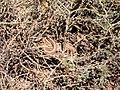Мімікрія. Змія-стрілка завдяки забарвленню добре маскується в пустелі.jpg
