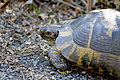 Средиземноморская черепаха - Testudo graeca - Greek tortoise - Шипобедрена костенурка - Maurische Landschildkröte (20270018334).jpg