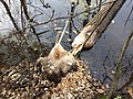 Ульяновский лесопарк - бобровый погрыз.jpg