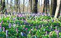 Цветение хохлатки.jpg