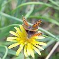 Червонец пятнистый (Многоглазка пятнистая) - Small Copper (American Copper, Common Copper) - Lycaena phlaeas - Малка огневка - Kleiner Feuerfalter (30850536163).jpg
