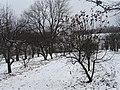 Яблони зимой.jpg