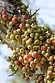 มะเดื่ออุทุมพร Ficus racemosa L (2).jpg