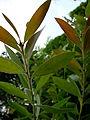ブラシノキ(Callistemon speciosus)-葉 (5845182952).jpg