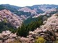 一目千本桜 (Cherry blooming view from Yoshimizu Shrine) 12 Apr, 2014 - panoramio.jpg