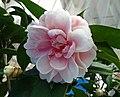 山茶花-半重瓣荷花型 Camellia japonica Semi-double Lotus Form -深圳園博園茶花展 Shenzhen Camellia Show, China- (9222649588).jpg