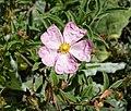 岩薔薇屬 Cistus x skanbergii -溫哥華植物園 VanDusen Botanical Garden, Vancouver- (9219877937).jpg
