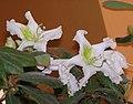 杜鵑花屬 Rhododendron ludwigianum -泰國清邁花展 Royal Flora Ratchaphruek, Thailand- (9227006915).jpg