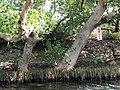 海茄冬 Avicenia marina (Forsk.) Vierh. - panoramio.jpg