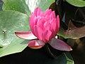 睡蓮-貴妃 Nymphaea Gui Fei -青島中華睡蓮世界 Qingdao International Horticultural Expo, China- (14665850231).jpg
