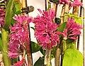 石斛蘭 Dendrobium Oharano -台南國際蘭展 Taiwan International Orchid Show- (39983084715).jpg