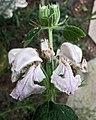 糙蘇屬 Phlomis bovei -哥本哈根大學植物園 Copenhagen University Botanical Garden- (36996153945).jpg