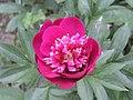 芍藥-大紅袍 Paeonia lactiflora 'Bright Red Gown' -上海植物園 Shanghai Botanical Garden- (12380299503).jpg