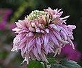 菊花-桃紅 Chrysanthemum morifolium 'Peach Red' -香港雲泉仙館 Ping Che, Hong Kong- (11980835936).jpg